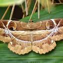Owl Moth / Owlet Moth