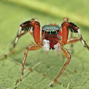 Jade Jumping Spider