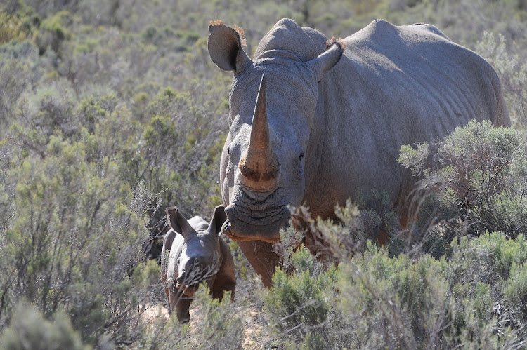 Cow bonding with her newborn white rhino calf at the Aquila Private Game Reserve.