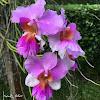 Orquidea colgante