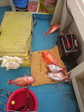 """Photo: 魚、ゴロゴロ転がってますよ!""""イノウエさん""""! 一撃で真鯛2匹とアカイサキ3匹!"""