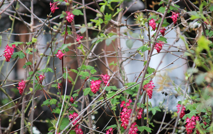 photo Flowering-Currant_zpsiqv4ikwy.png