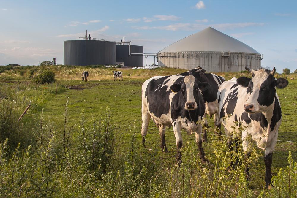 Dejetos de bovinos podem ser reaproveitados para a criação de fontes de energia sustentáveis. (Fonte: Shutterstock)