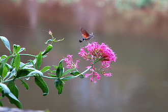 Photo: the magnificent Hummingbird Hawkmoth, Estaing, France