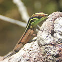 Calango da Mata - Striped forest whiptail
