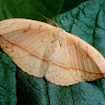 Moths of Western Ghats