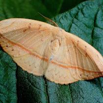 Moths of Western Ghats
