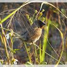 Scaly-breasted munia 斑文鳥(鱗胸文鳥)