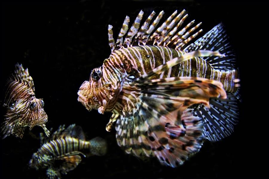 Lion Fish Posing by Dub Scroggin - Animals Fish ( fish, lion fish, georgia aquarium, animal, sea creatures, underwater life, ocean life )