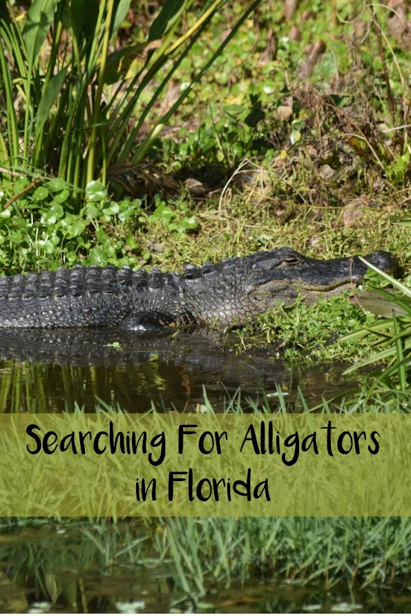 Searching For Alligators in Florida