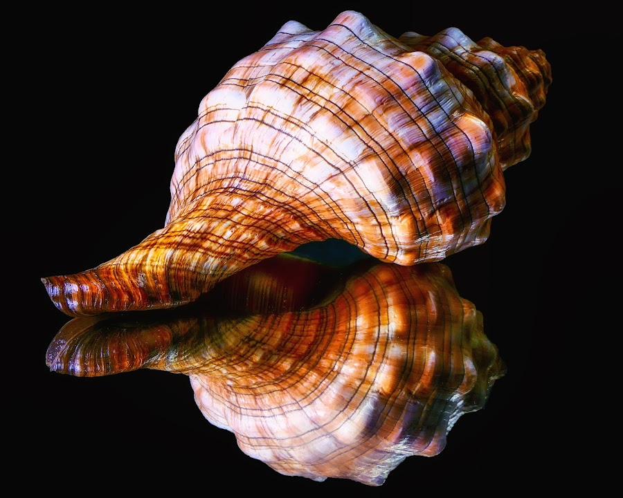 Colorful Sea Shell by Dave Walters - Nature Up Close Other Natural Objects ( macro, lumix fz2500 colors, nature, sea shell, colors,  )