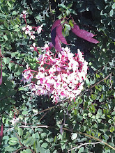 Photo: Bauhínia Rosa Trepadeira ( Bauhinia scandens )