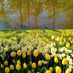 by Svetlana Saenkova - Instagram & Mobile iPhone ( spring, tulips, reflection,  )