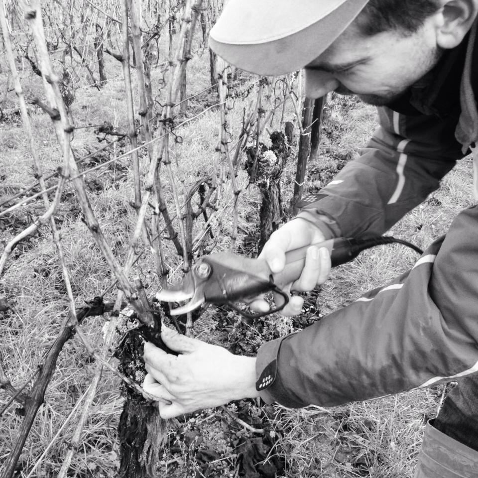 Viticulteur taillant la vigne, laissant deux baguettes pour assurer la vendange 2014 et deux coursons pour anticiper sur le millésime 2015