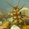 Stonefly larva aka Salmonfly