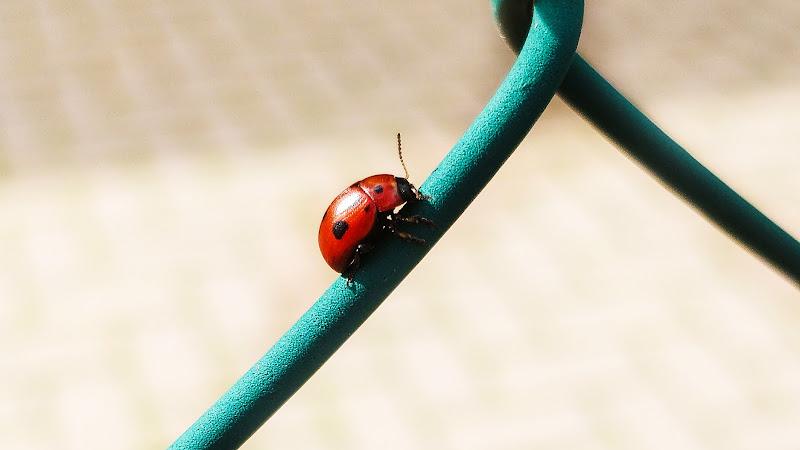 Miss  Ladybug di pAt_