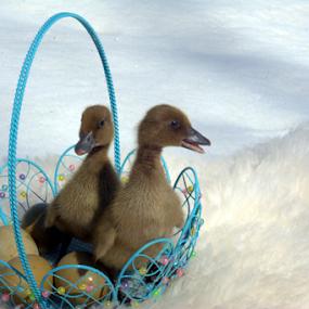 by Deanna Clark - Public Holidays Easter ( easter, ducks, birds )