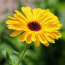 by Augustine Juliano - Flowers Single Flower