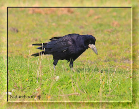 Photo: Råka - Corvus frugilegus - Rook NF Photo 111002 + 111003 in Falsterbo http://nfbird.blogspot.com/2011/11/raka-corvus-frugilegus-rook.html