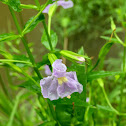 Winged Monkeyflower