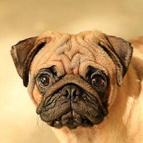 Man's Bestfriend by Bong Flores - Animals - Dogs Puppies ( playdog, cuteness, hug, friend, pug )