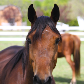 My Monday Buddy by Susannah Lord - Animals Horses ( farm, grass, horse, brown, brunette, chestnut. big eyes, horse face )