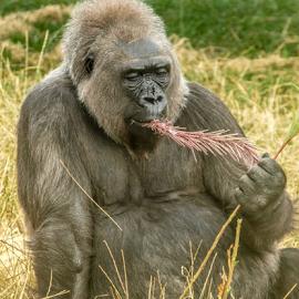 Munching by Garry Chisholm - Animals Other Mammals ( gorilla, primate, nature, mammal, ape, garry chisholm )
