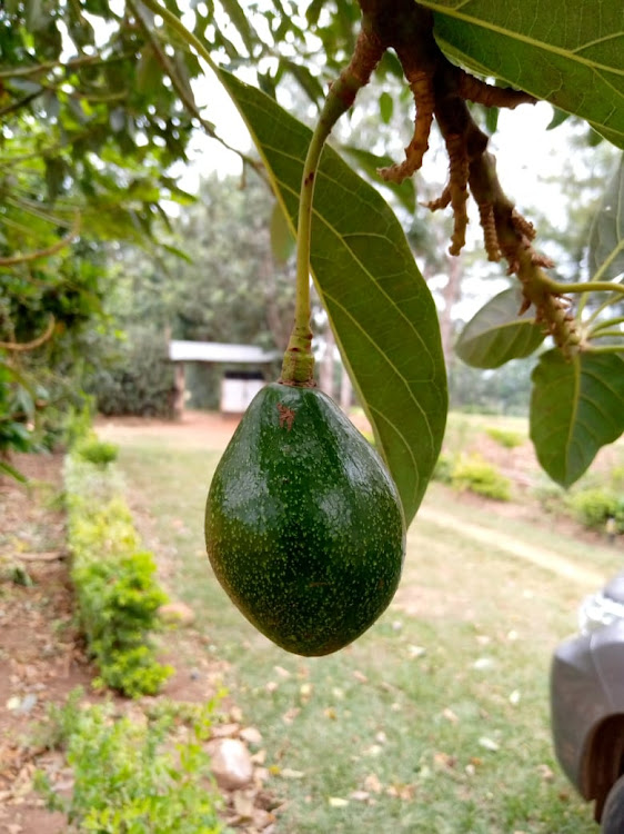 A avocado at a farm in Nyangoge village in Kuria West subcounty, Migori