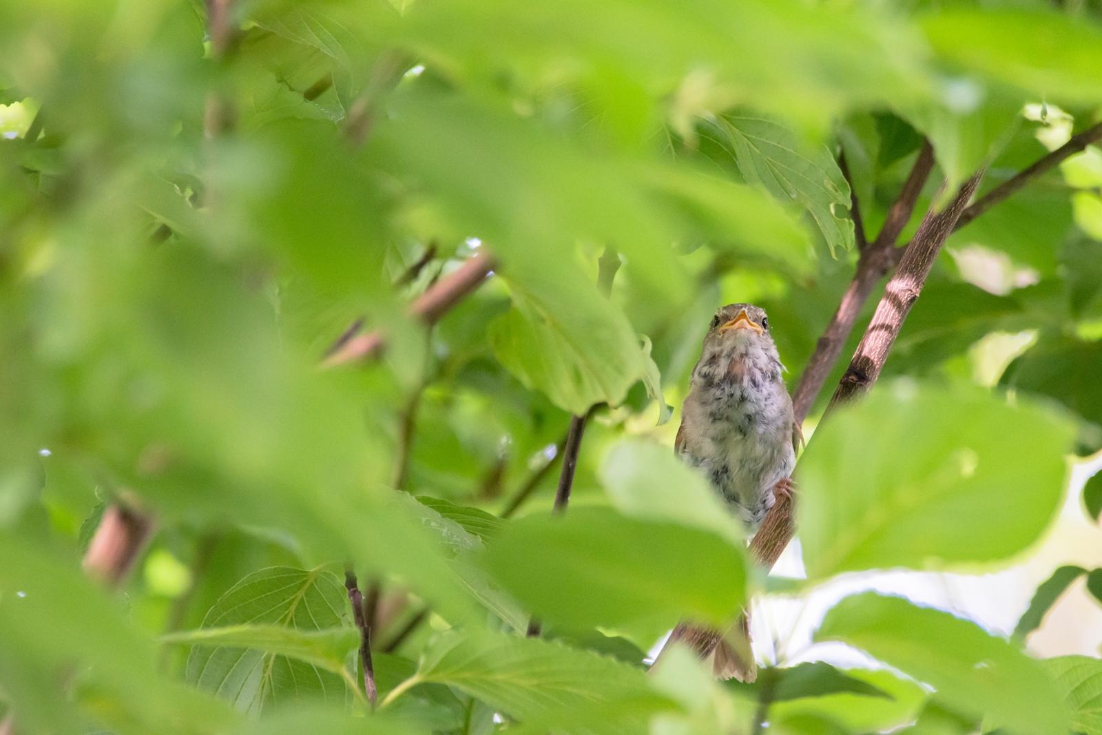 Photo: 「恥ずかしがり屋の歌」 / Shy birds song.  とっても恥ずかしがりやで いつも隠れて歌ってる 森に響く綺麗な歌声 もっとよく聴かせて欲しいな  Japanese Bush Warbler. (ウグイス)  Nikon D500 SIGMA 150-600mm F5-6.3 DG OS HSM Contemporary  #birdphotography #birds #kawaii #ことり #小鳥 #nikon #sigma  ( http://takafumiooshio.com/archives/2714 )