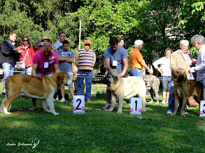 Photo: Puppy class males 1st and 2nd puppies from Los Majade de los Robles 3rd puppy from Auto Can