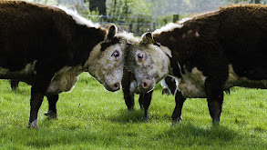 Cows thumbnail