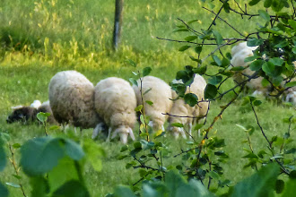 Photo: Sheep grazing in the meadow