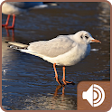 Seagull Sounds icon