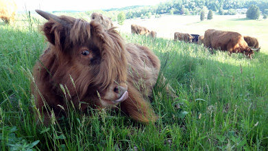 Photo: Well, hello there...Clover looking quite fetching <g> ...#ScottishHighland #Calf