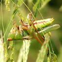 Long-Spurred Meadow Katydid