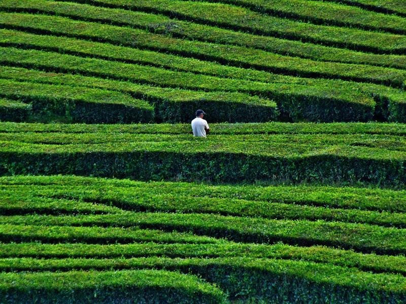 Verde tè o tè verde di PCC