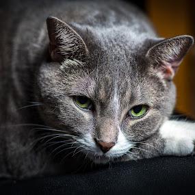 ELI by Glen Sande - Animals - Cats Portraits ( cactus rf60, cats, flash, off camera flash, cactus v6ii, pets, portraits, pentax k1 )