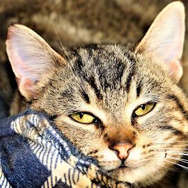 Kerri by Linda    L Tatler - Animals - Cats Kittens (  )