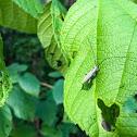 Ash Gray Blister Beetle