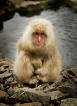 "Photo: Snowy the Snow Monkey - Nagano, Japan  This little guy and I had a little friendship after a few days.  I spent time all over the hills and rivers here outside of Nagano taking photos of these snow monkeys. And you get to know them after a while... there are a few that you see over and over again. I started giving them names... the same way my daughter gives names to everything... and all the names were quite childish... Like I called this guy, ""Snowy."" It wasn't very creative, but he didn't seem to mind.  He followed me around morning and night. And he posed... oh how he loved to pose. Some other monkeys I got too close too and they gave me the wide-mouth attack move.... but I never got too close to Snowy. I didn't want to ruin the little grizzly-man thing we had a-goin' on.  from the blog at www.stuckincustoms.com"