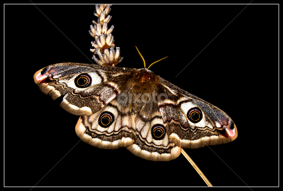 Saturnia pavonia female by Simon Kovacic - Animals Insects & Spiders