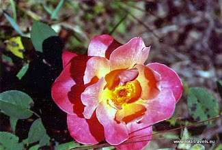 Photo: Rozendal (Rozova Dolina), een Lare-roos | Near the Valley of Roses. A Large-rose.  www.loki-travels.eu