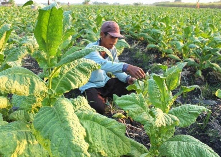 Bintek petani tembakau kabupaten Ngawi