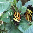 Casabranca butterfly
