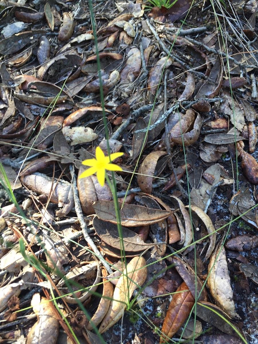 Yellow Star-grass