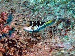 Photo: CANTHIGASTER A SELLE