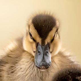 Angry Bird.. by Ramakrishnan Sundaresan - Animals Birds (  )