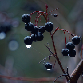Berries  by Todd Reynolds - Nature Up Close Other plants