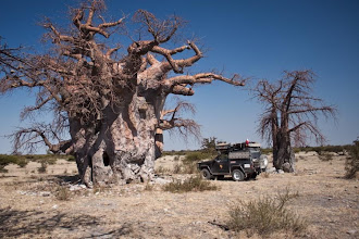 Photo: Massive Baobabs all around Botswana / Obrovské Baobaby po celé Botswaně