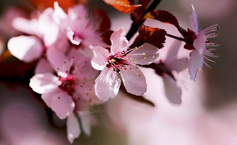 Fiori rosa di ciliegio di LaMony
